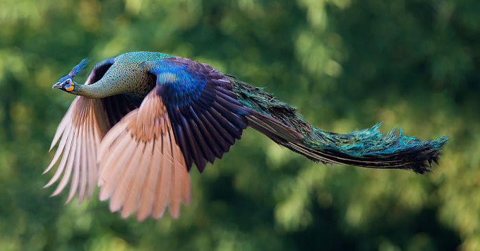 flying-peacock-fb1__700